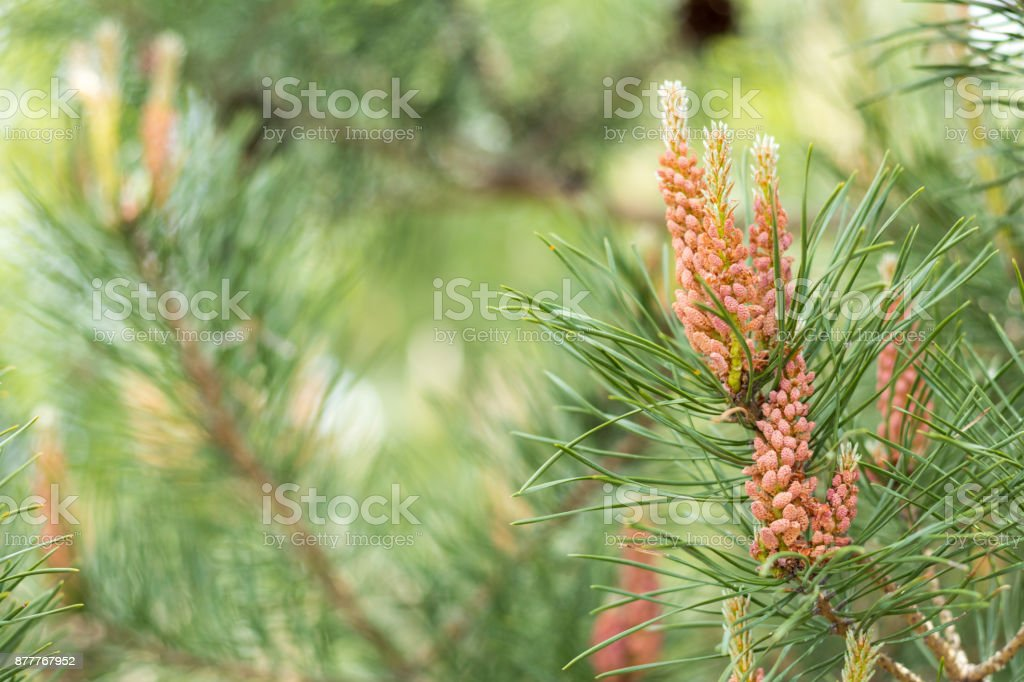 Pine tree with pine cones in the spring forest stock photo