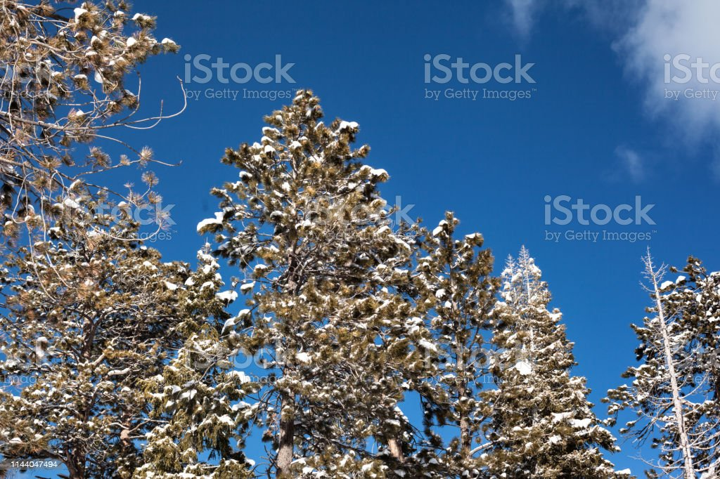 Pine trees agains a blue sky in the winter stock photo
