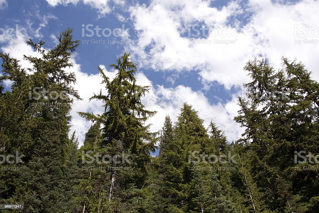 Pine trees against clouds royalty-free stock photo