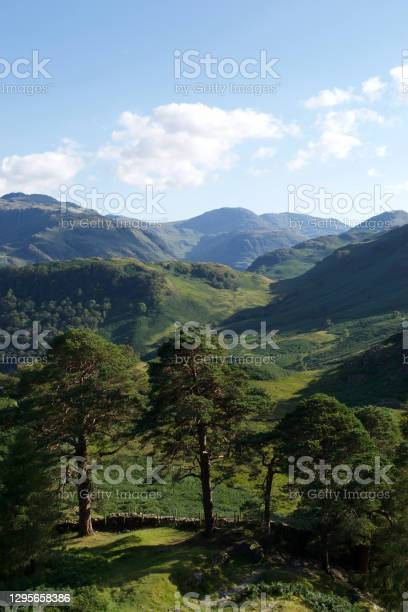 Photo of Pine trees and a stone wall in a green valley in summer in the English Lake District