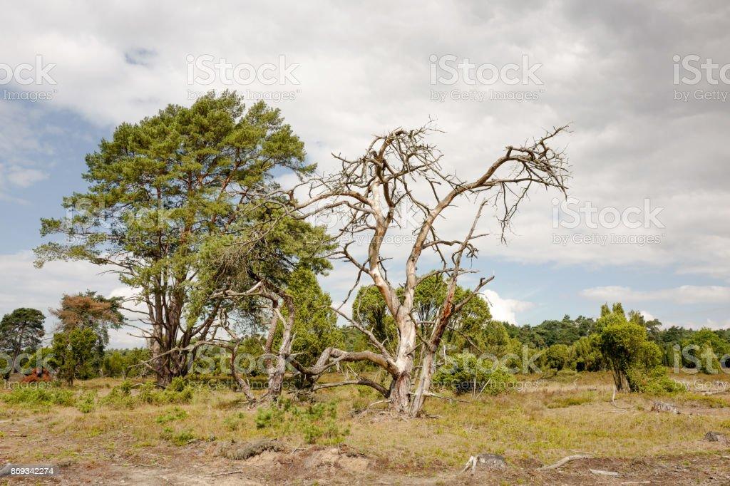 Pine trees and juniper berries. stock photo