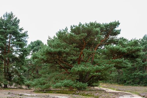 Pine trees and trail in Fischbeker heath at day.