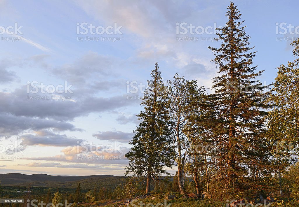 Pine trees at sunset royalty-free stock photo