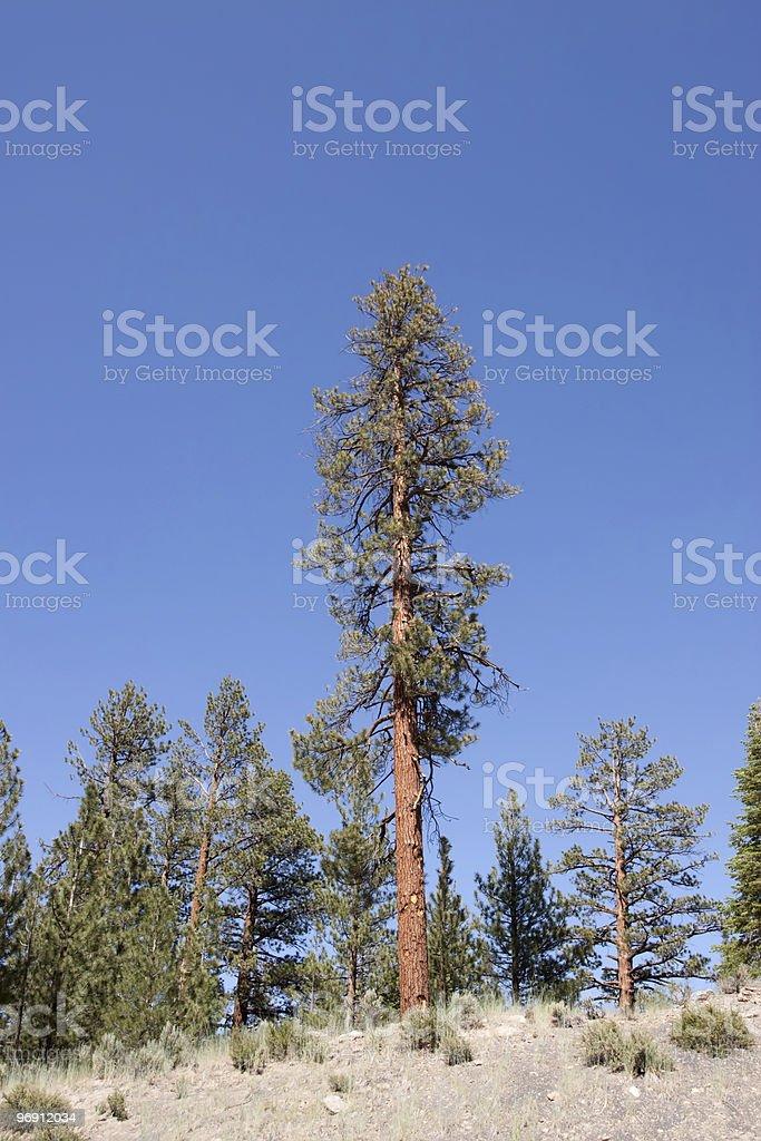 Pine trees at the Sierra Nevadas royalty-free stock photo