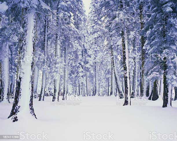 Photo of Pine trees covered in winter snow