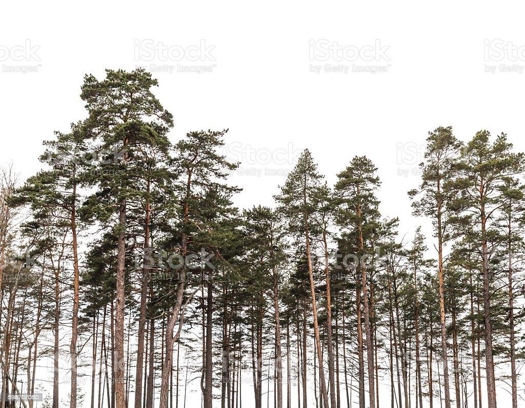 Pinien wald isoliert auf weißem Hintergrund – Foto