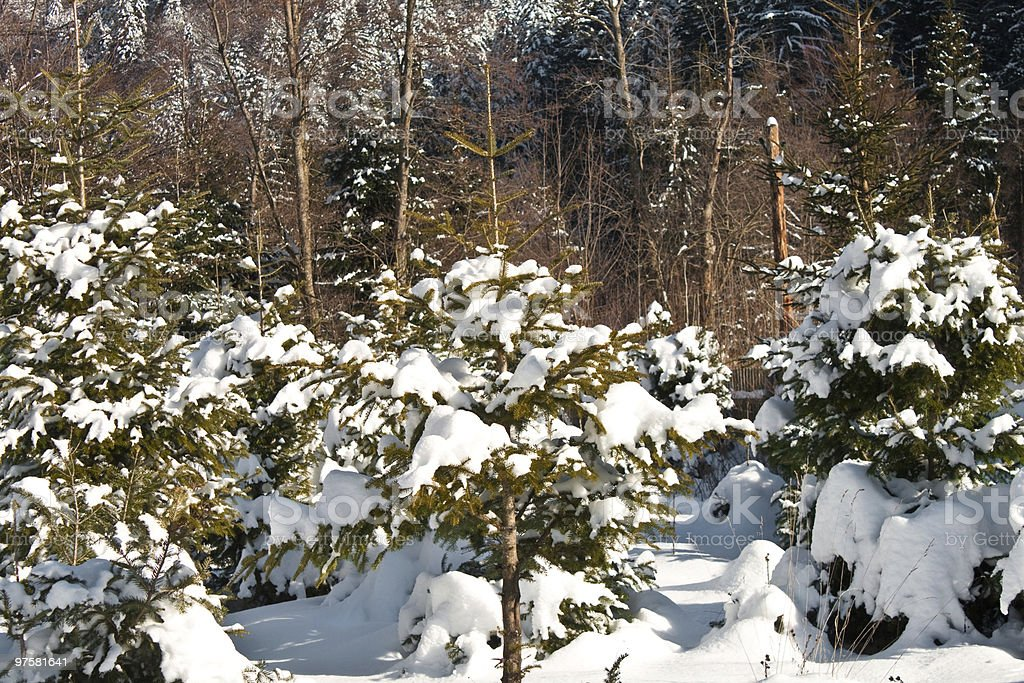 Pine trees full of snow royalty-free stock photo
