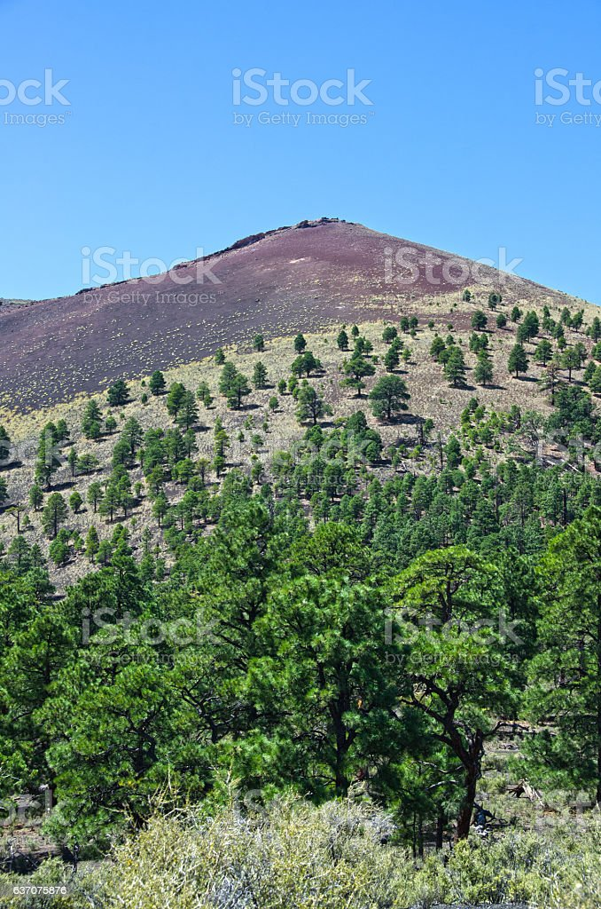 Pine Trees Grow in Lava at Sunset Crater Volcano Nation stock photo