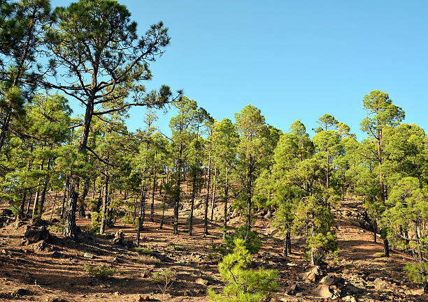Pine trees growing at a volcanic landscape. stock photo