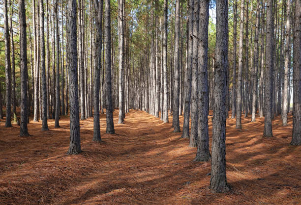 Pine trees growing straight up stock photo