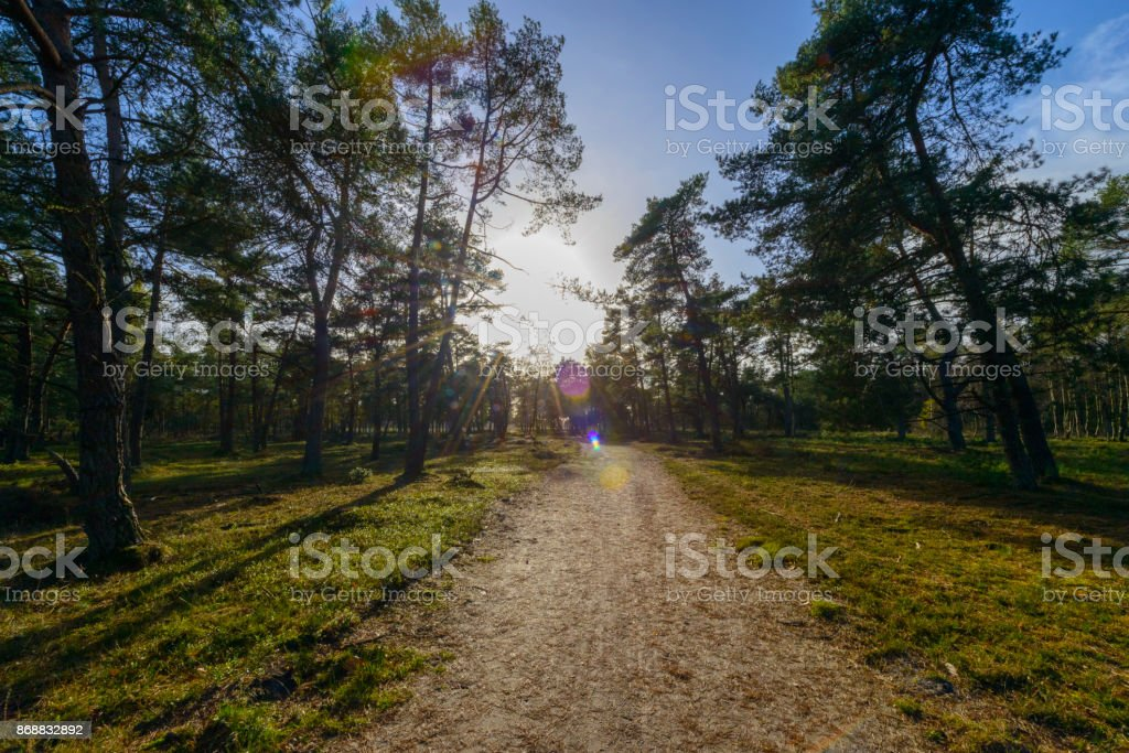 Pine trees in a forest during a beautiful autumn day stock photo