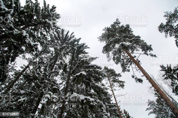 Photo of Pine trees in a spruce forest on a winter day