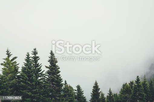 Pine trees in the mountains looking out of the fog.