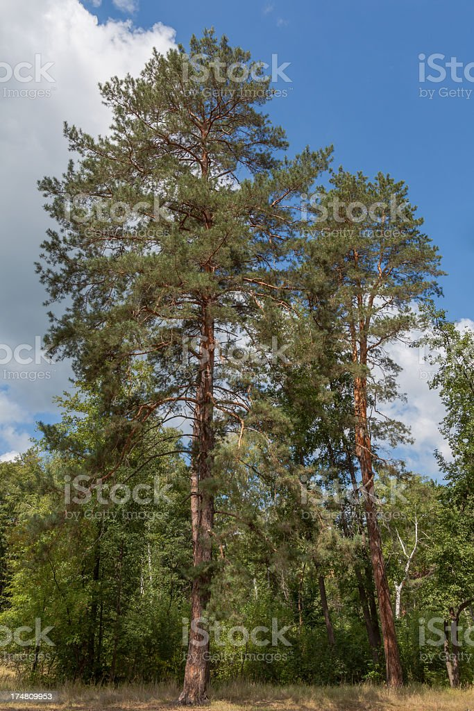 Pine trees in forest royalty-free stock photo