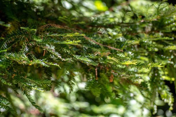 Pine Trees In Monterey stock photo