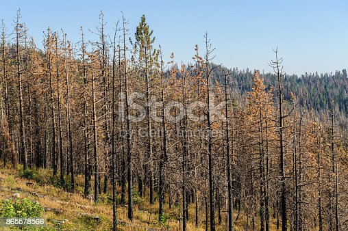 A group of pine trees along the General's Highway in Seqoia National Park