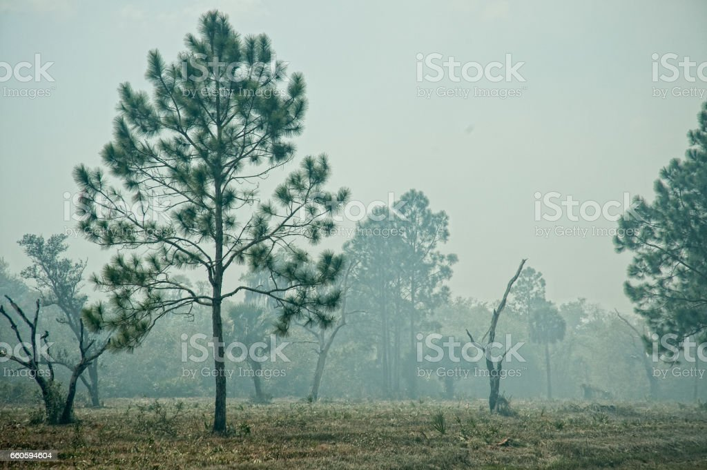 Pine Trees in Smoke from Nearby Controlled Burn Brush Fire royalty-free stock photo
