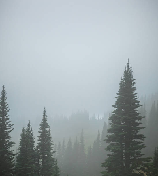 Pine Trees in Thick Fog stock photo