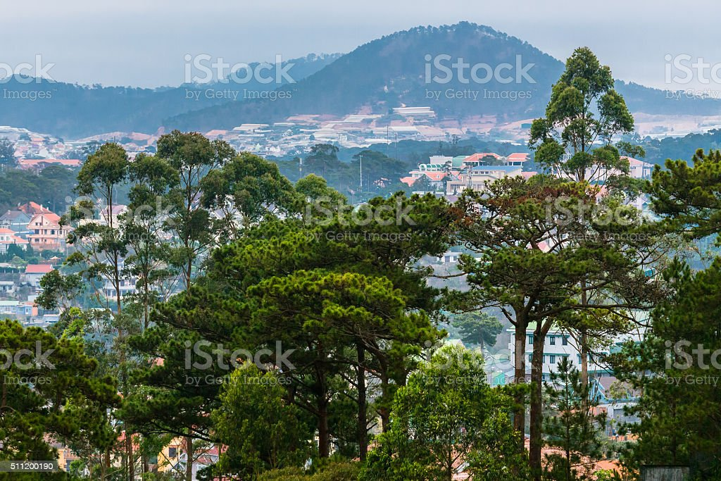 Pine Trees in Vietnam stock photo