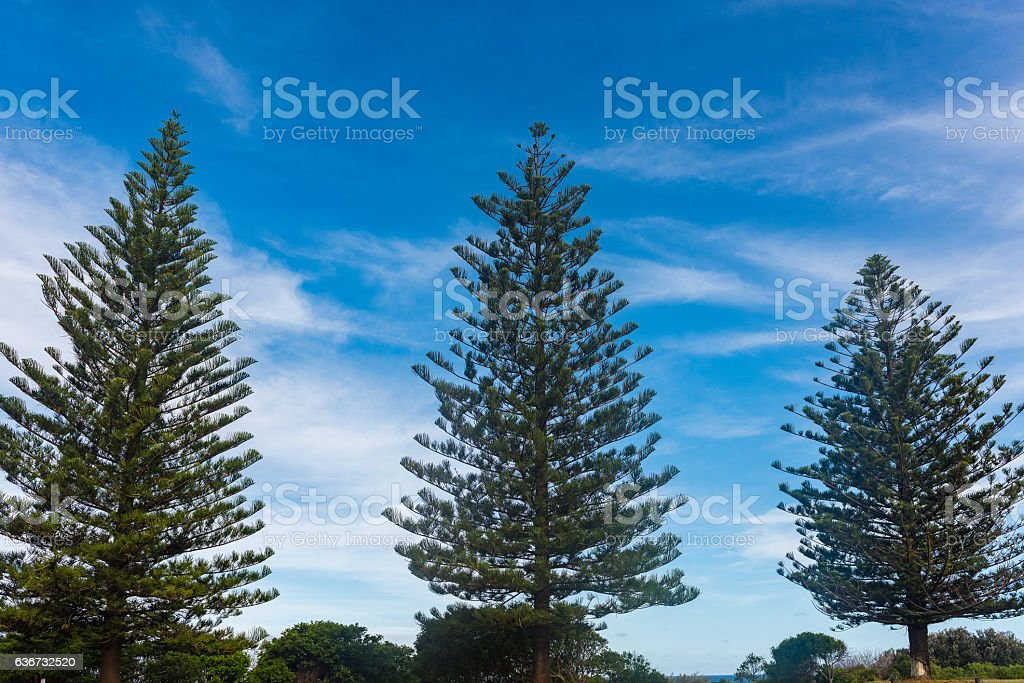 Pine trees in Yamba, Australia stock photo