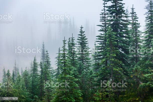 Photo of Pine trees inside Mount Rainier covered by mist in winter.