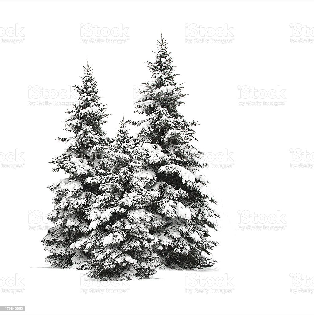 Pine trees isolated on white stock photo