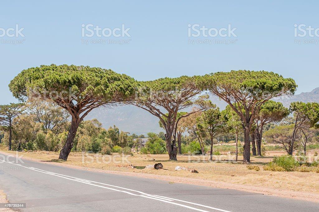 Pine trees near Somerset West stock photo