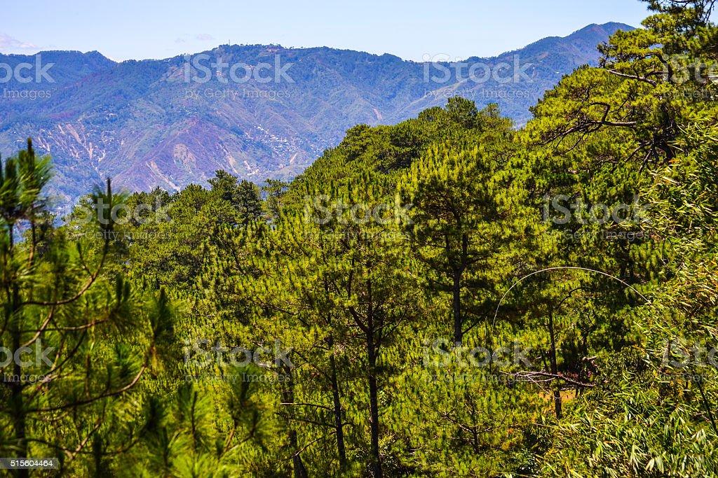Pine Trees of Baguio City stock photo