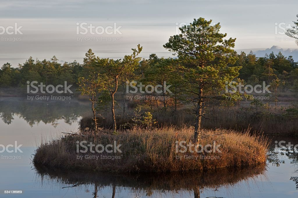 Pine trees on island stock photo