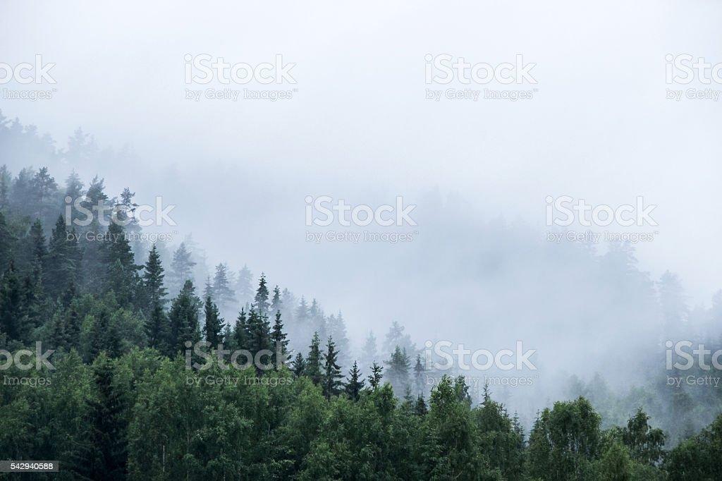pine trees on mountain in mist stock photo