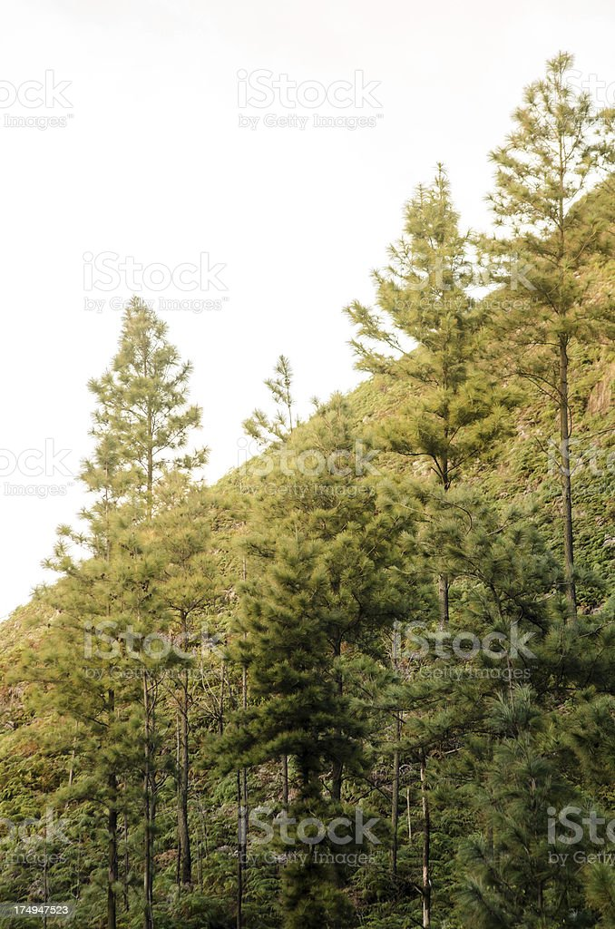 Pine trees on steep hill royalty-free stock photo
