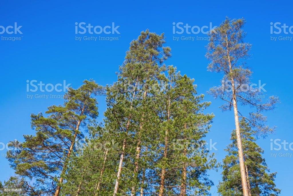 Pine trees over bright blue sky stock photo