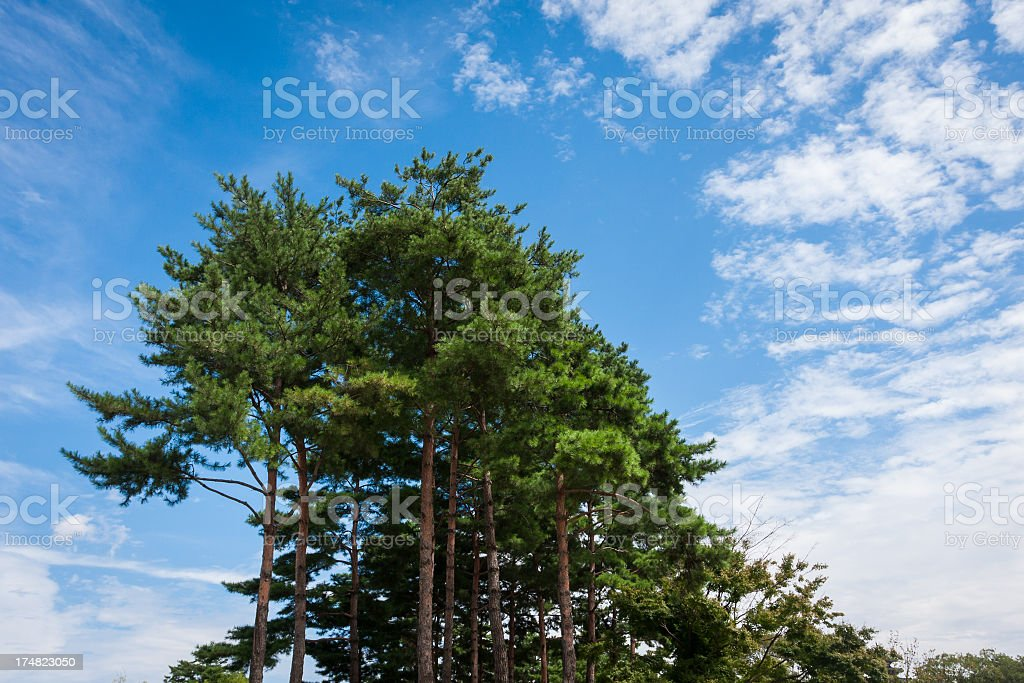 pine trees royalty-free stock photo