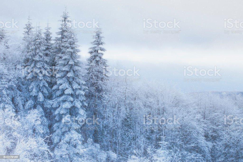 Pine trees snow scene stock photo