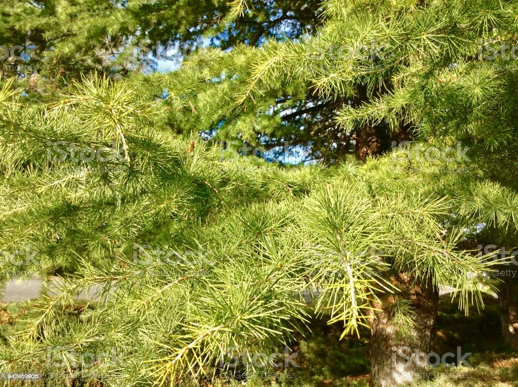 Pine Trees|| Spring Flowers and Foilage stock photo