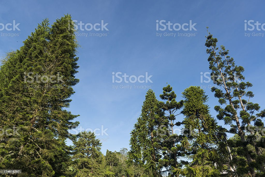Pine trees with blue sky royalty-free stock photo