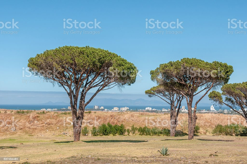 Pine trees with Table Mountain in the background stock photo