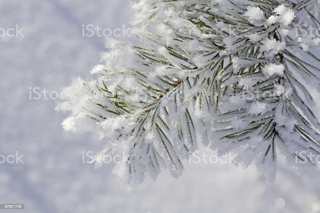 pine twig in hoarfrost royalty-free stock photo
