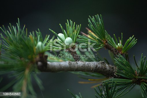 Pine vegetation fruits flowers in mountain