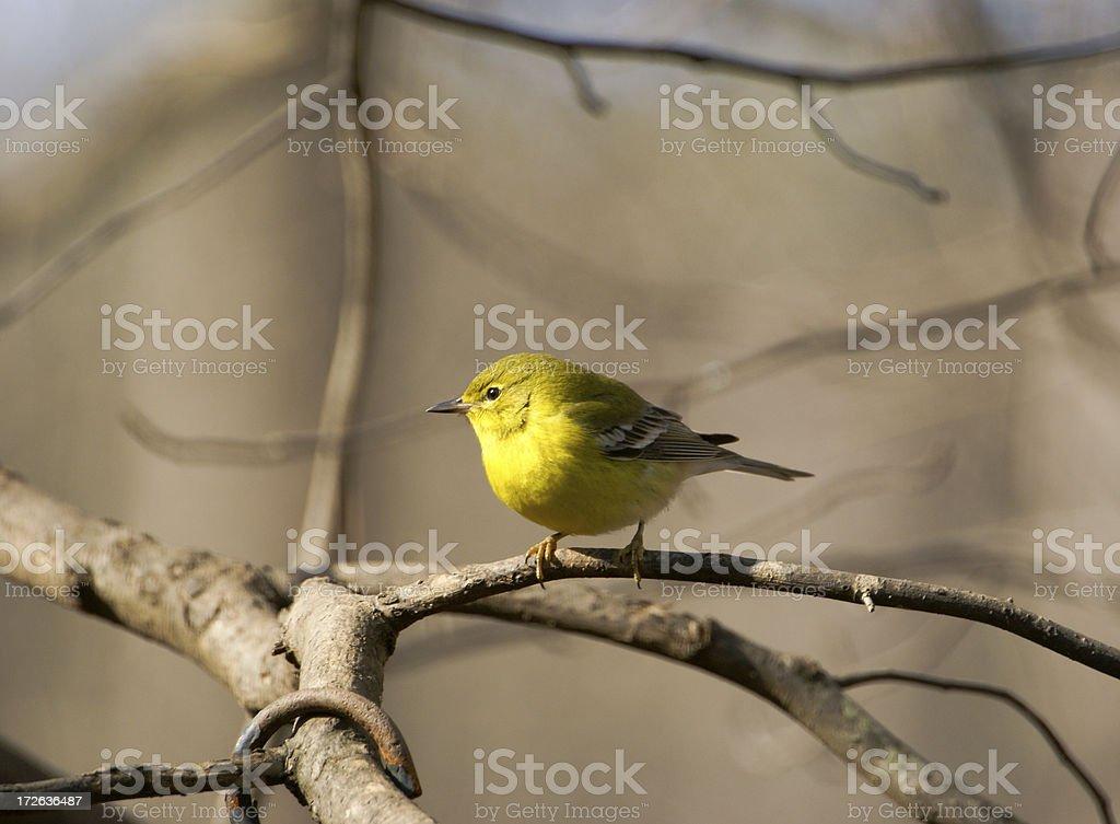 Pine Warbler in Tree stock photo