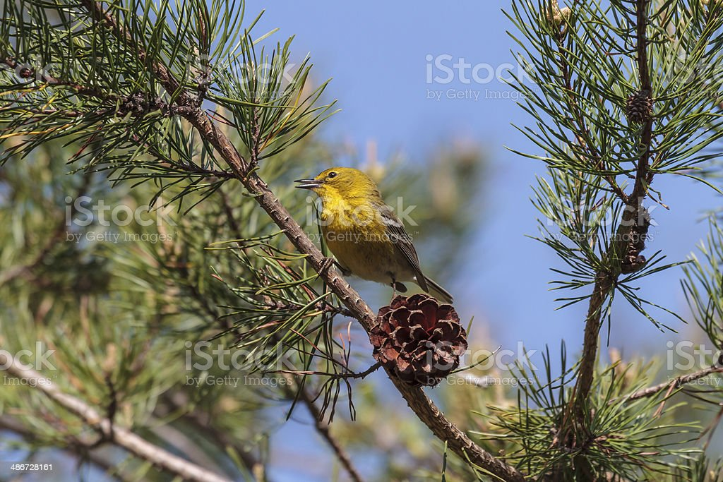 Pine Warbler (Dendroica pinus) stock photo