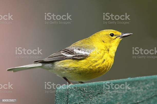 Pine Warbler Stockfoto en meer beelden van Bontgekleurd