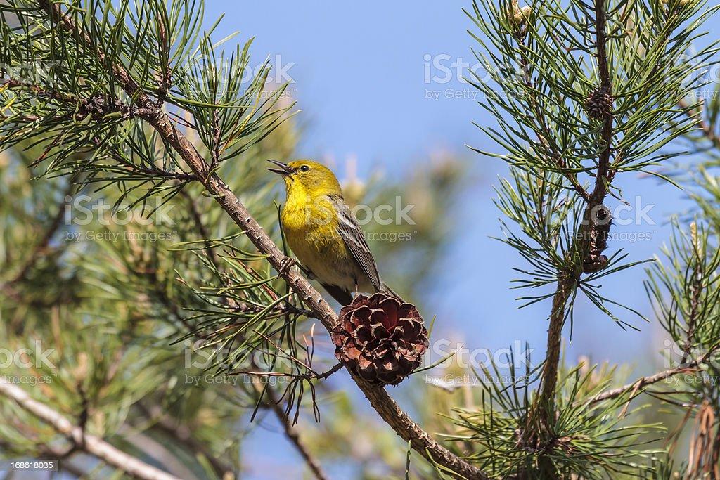 Pine Warbler (Dendroica pinus) Singing stock photo