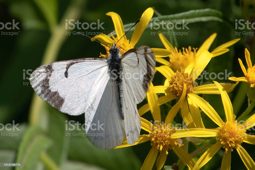 pine white butterfly, Neophasia menapia stock photo