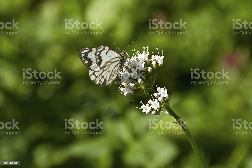 Pine White Butterfly on a Wildflower stock photo