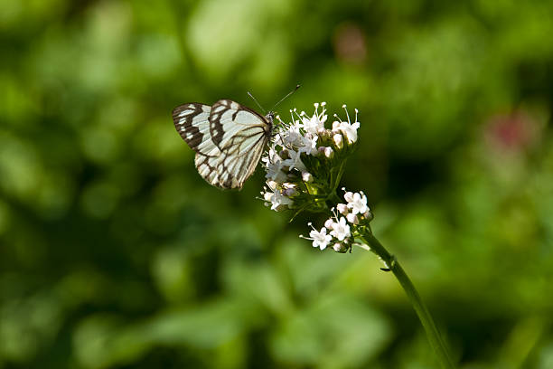 pine white butterfly on a wildflower - jeff goulden butterfly stock pictures, royalty-free photos & images