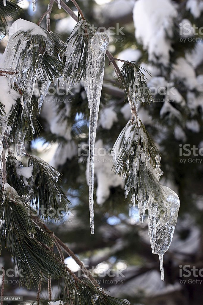 Pine with Ice royalty-free stock photo