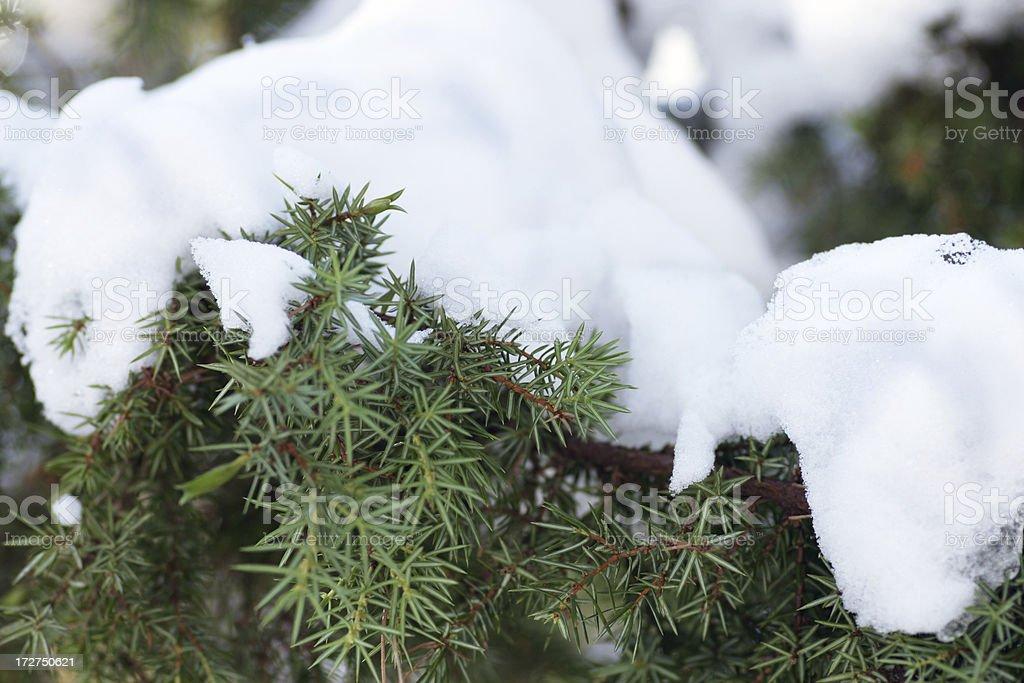 Pine With Snow stock photo