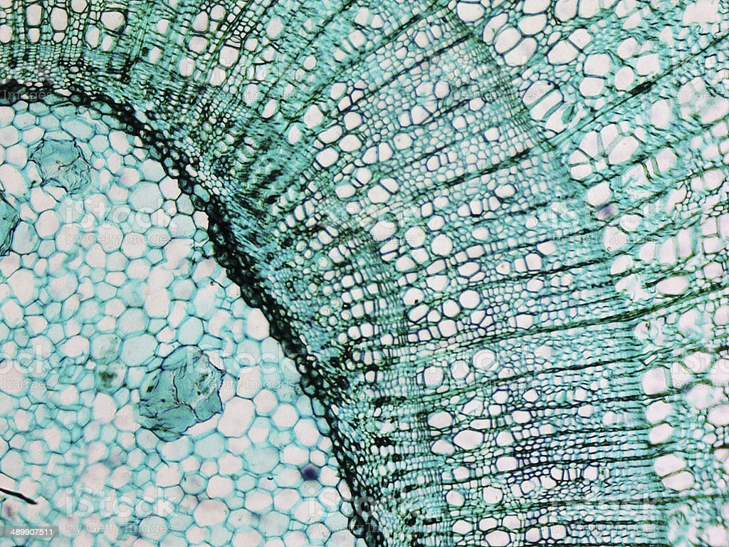 Pine Wood micrograph stock photo