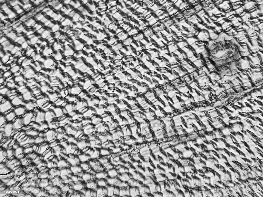 Pine Wood micrograph stock photo